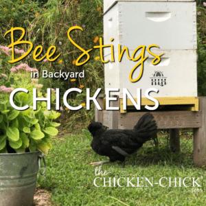 Bee stings in backyard chicknes