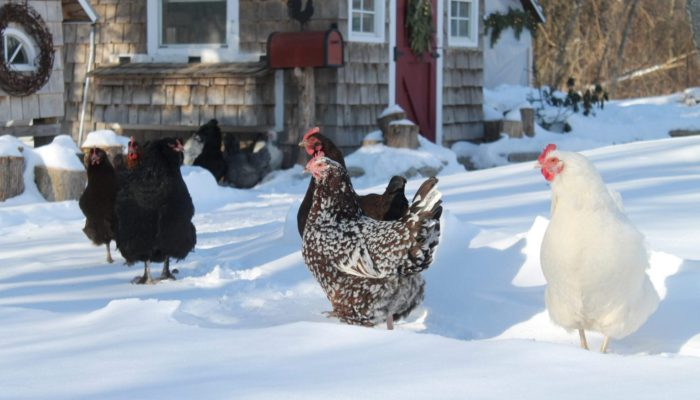 Surviving Winter with Chickens