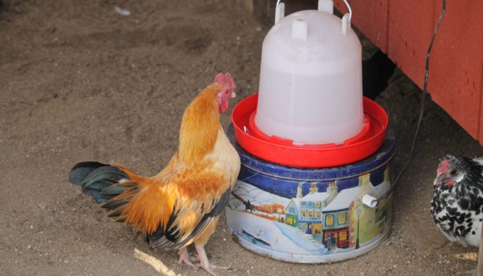 DIY COOKIE TIN WATER HEATER FOR BACKYARD CHICKENS