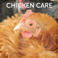 Chicken Care