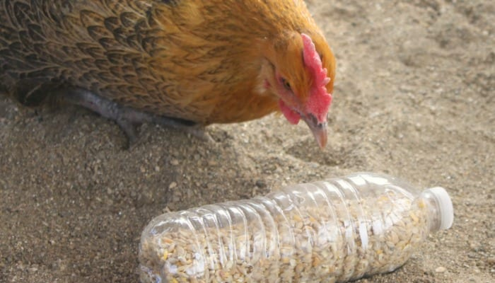 Winter Boredom Busters for Chickens