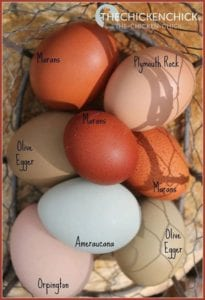 eggs by breed