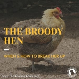 The Broody Breaker: When a Hen's Mood to Hatch Should be Interrupted