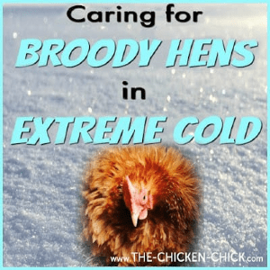 Caring for Broody Hens in Extreme Cold