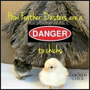 Feather Duster Chick Strangulation Hazard