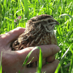 Feeding Quail, shared by Garden Up Green