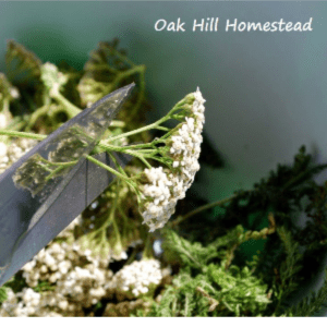 How to Harvest Yarrow, shared by Oak Hill Homestead