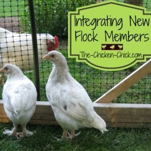 Integrating new chickens into an established flock | The Chicken Chick®