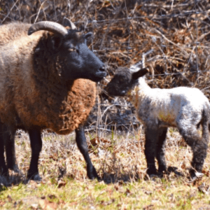 Lambing Help, shared by Walking in High Cotton