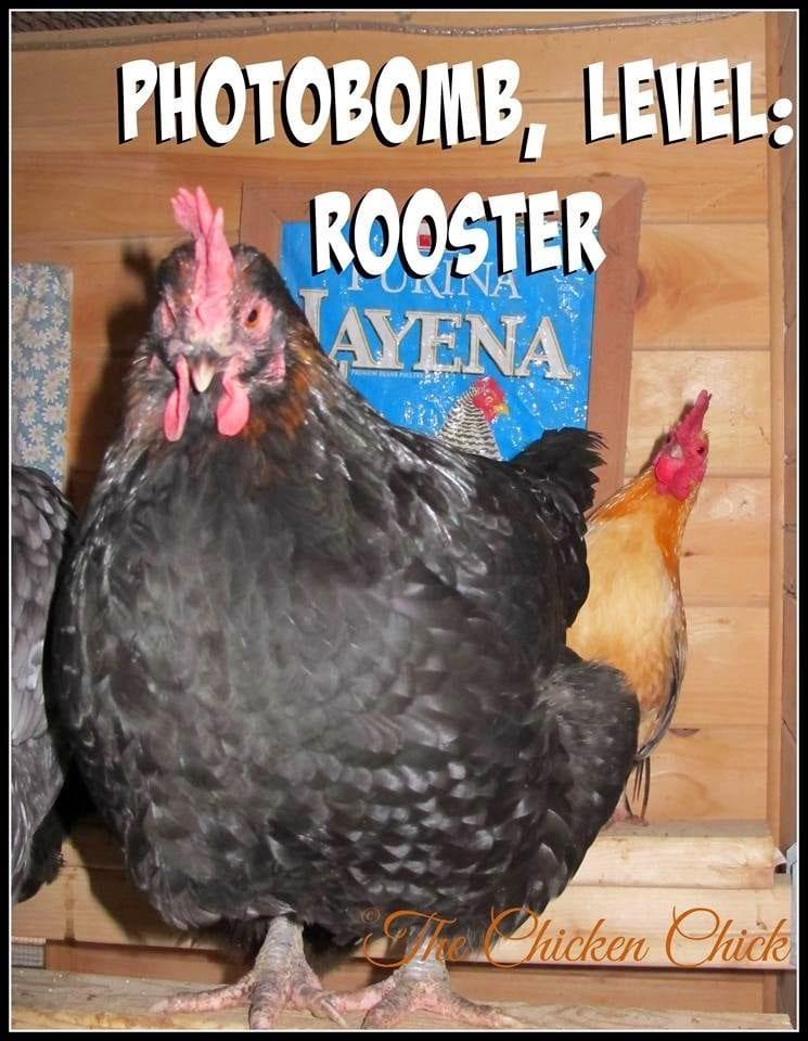 Photobomb level rooster