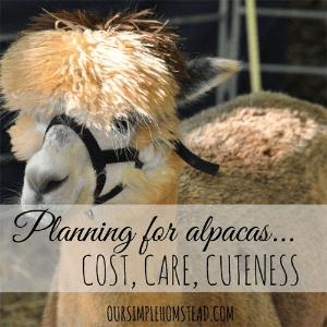 Planning for Alpacas: Cost, Care, Cuteness, shared by Our Simple Homestead