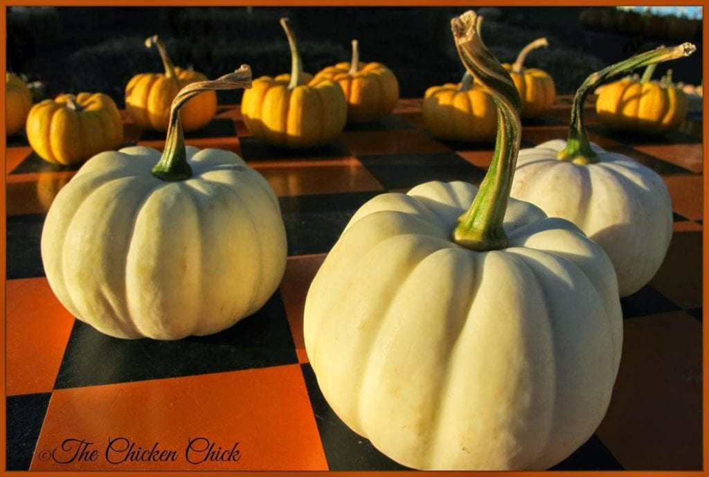 Pumpkins - The Chicken Chick