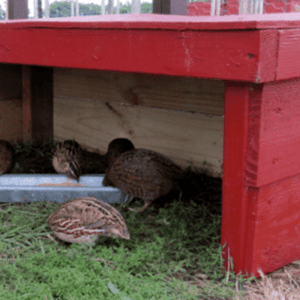 Quail Huts or Nest Boxes, shared by Garden Up Green