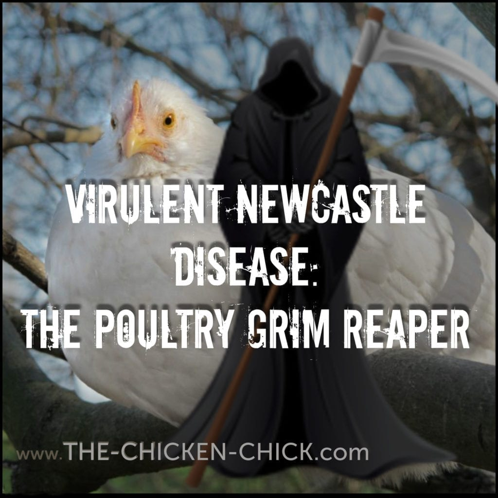 Virulent Newcastle disease is a highly contagious, incurable viral disease affecting birds and poultry worldwide, killing victims within days of exposure, often with no warning signs.