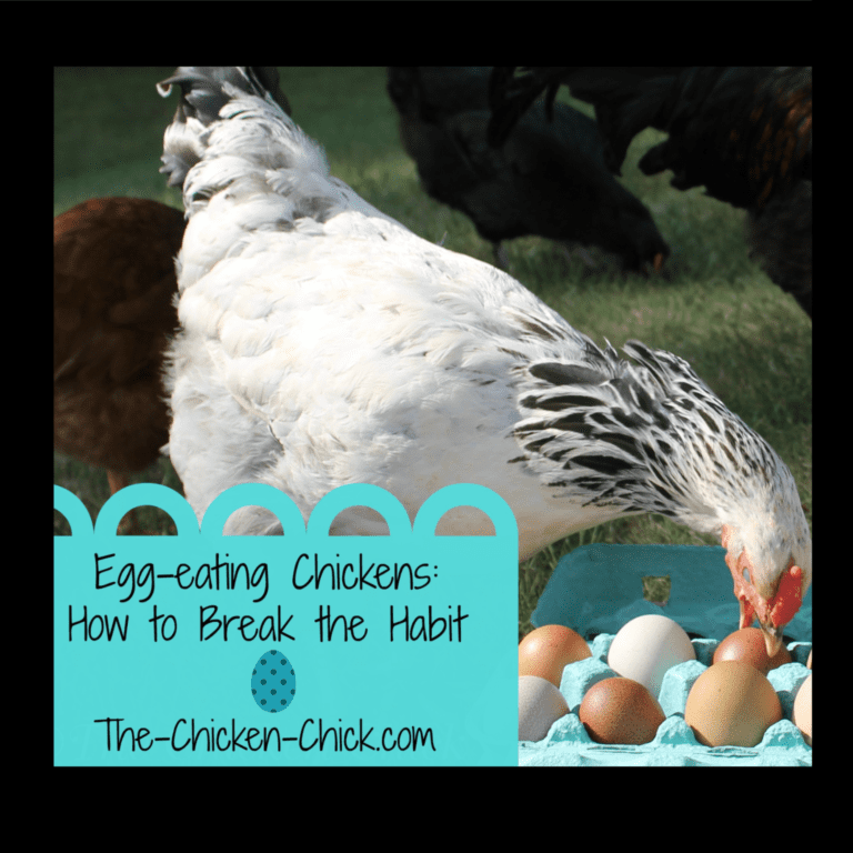 Egg Eating Chickens How To Break The Habit The Chicken Chick