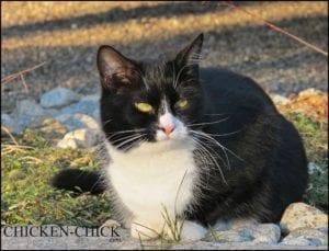 Barn cat   The Chicken Chick®