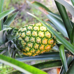 How to Grow Pineapples, shared by Olives-n-Okra