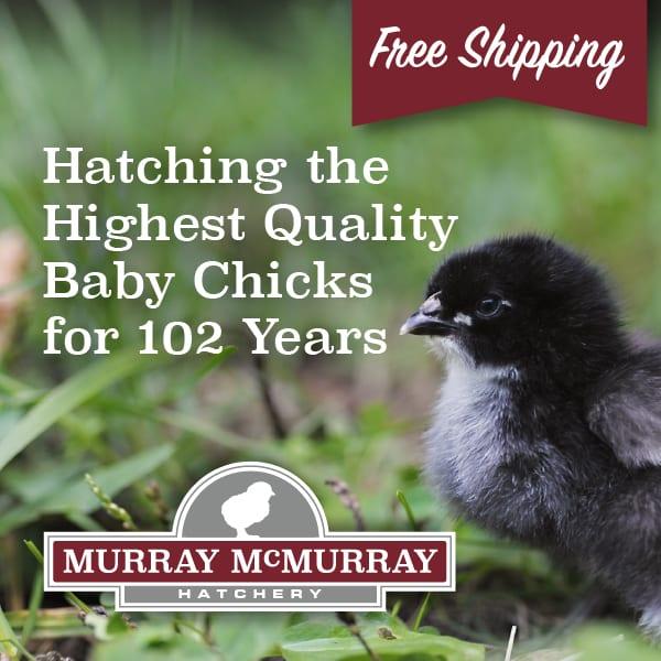 McMurrayHatchery-QualityDayOldBabyChicks-600px.jpg