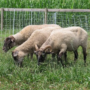 New Additions: Hog Island Sheep, shared by La Bella Farm