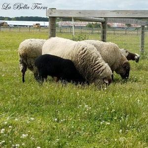 Shearing Hog Island Sheep shared by La Bella Farm