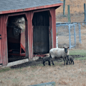 The Lambs are Here, shared by Walking in High Cotton