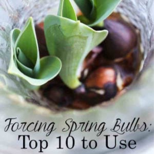 Top 10 Spring Bulbs to Force, shared by The Summery Umbrella