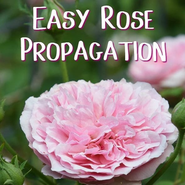 How to Propagate Roses, shared by Flower Patch Farmhouse