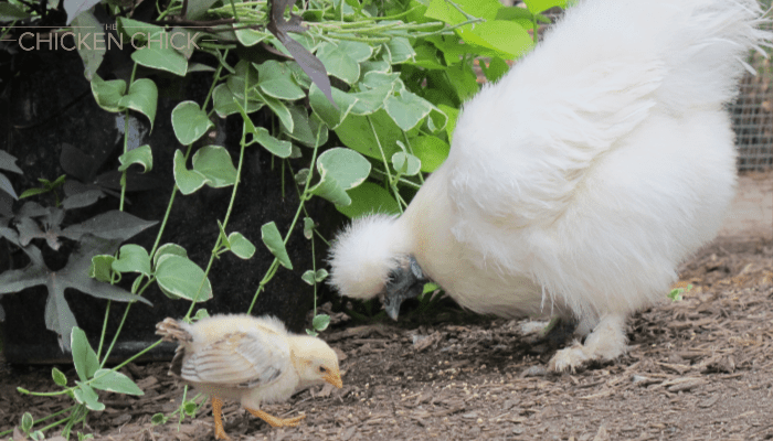 feeding chickens at different ages