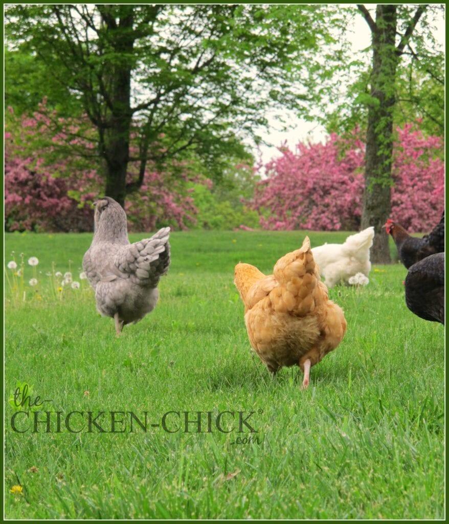 Free range, spring chickens   The Chicken Chick®