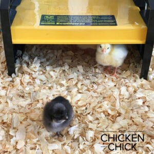 Brinsea EcoGlow Brooder | The Chicken Chick®