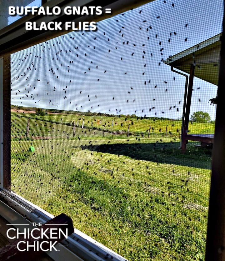 Buffalo gnats killed 30 chickens on this Illinois property in May, 2019.