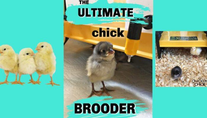Ultimate Chick Brooder Setup